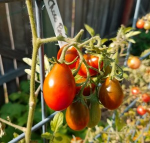 Chocolate Pear Tomato | The Coeur d Alene Coop