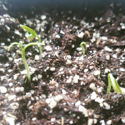 Emerging Seedlings | The Coeur d Alene Coop