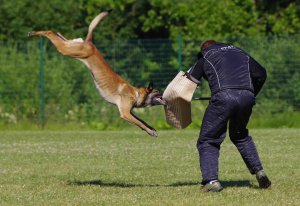 belgian shepherd dogs malinois french ring sport
