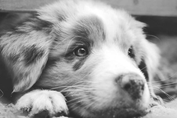 Unhappy Dog astralian shepherd puppy sad
