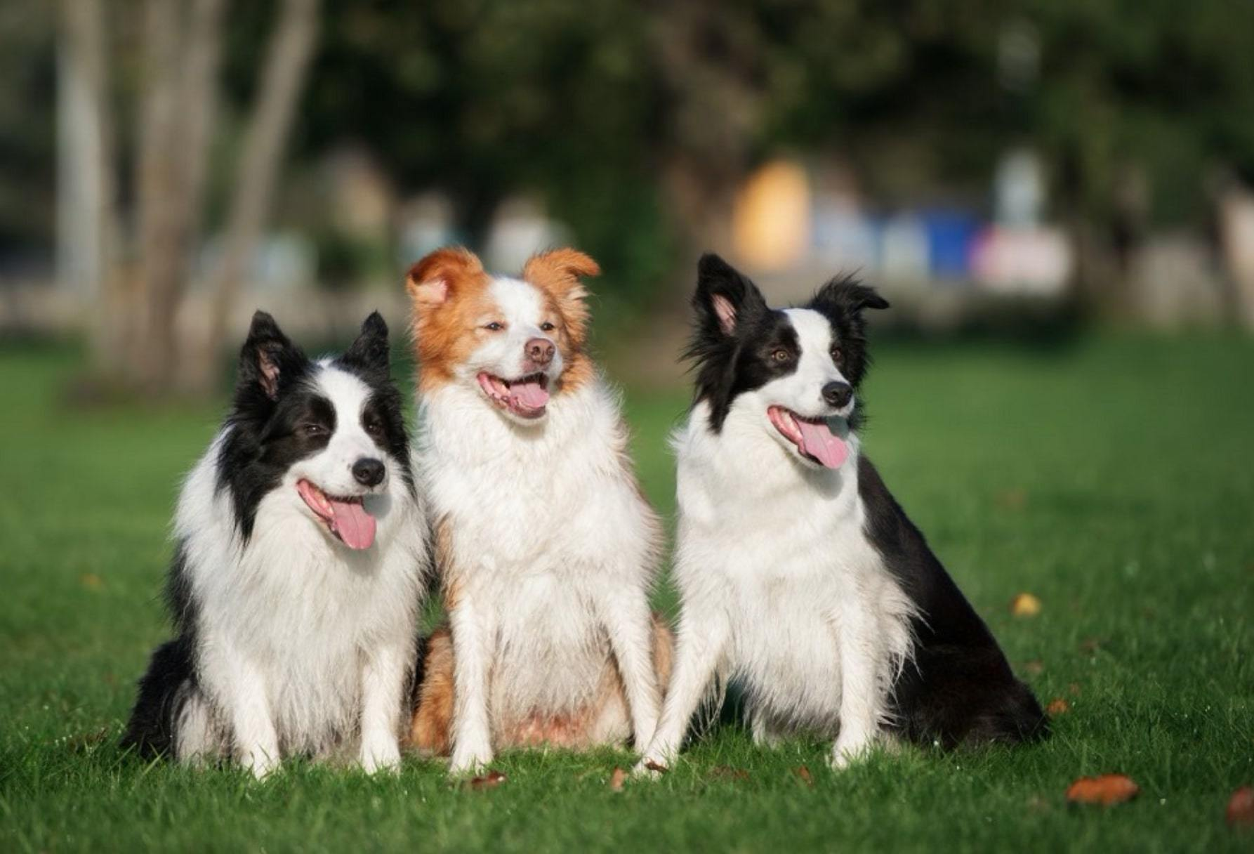 3 bordercollie dog smrtest dog in the world