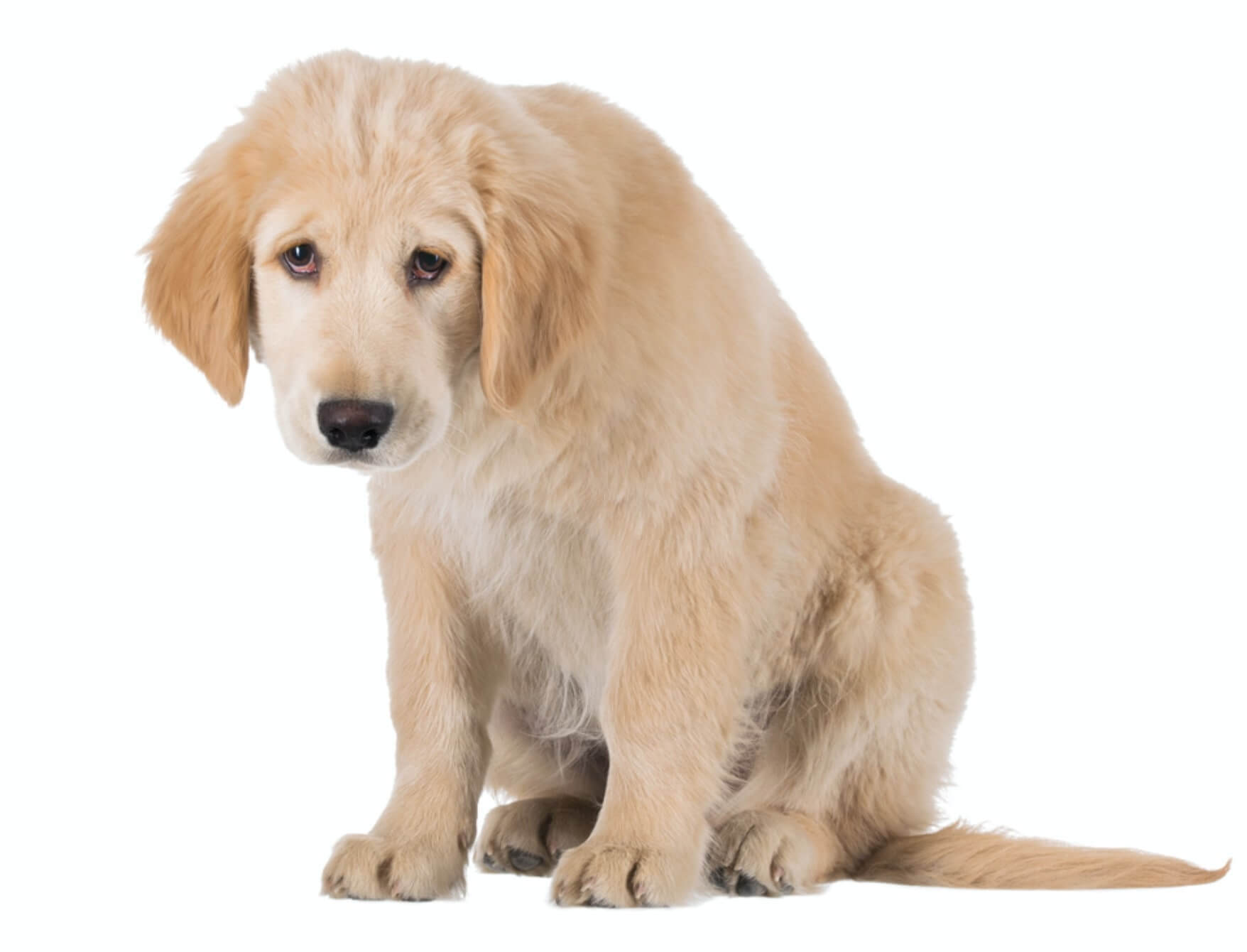 dog vision how dogs see labrador retriever puppy sad
