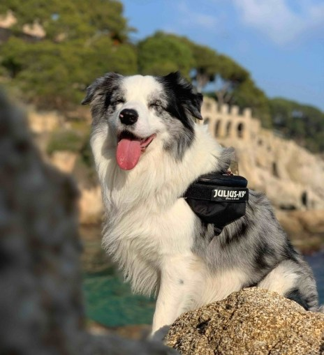 buddy bordercollie julius k9 review dog harness