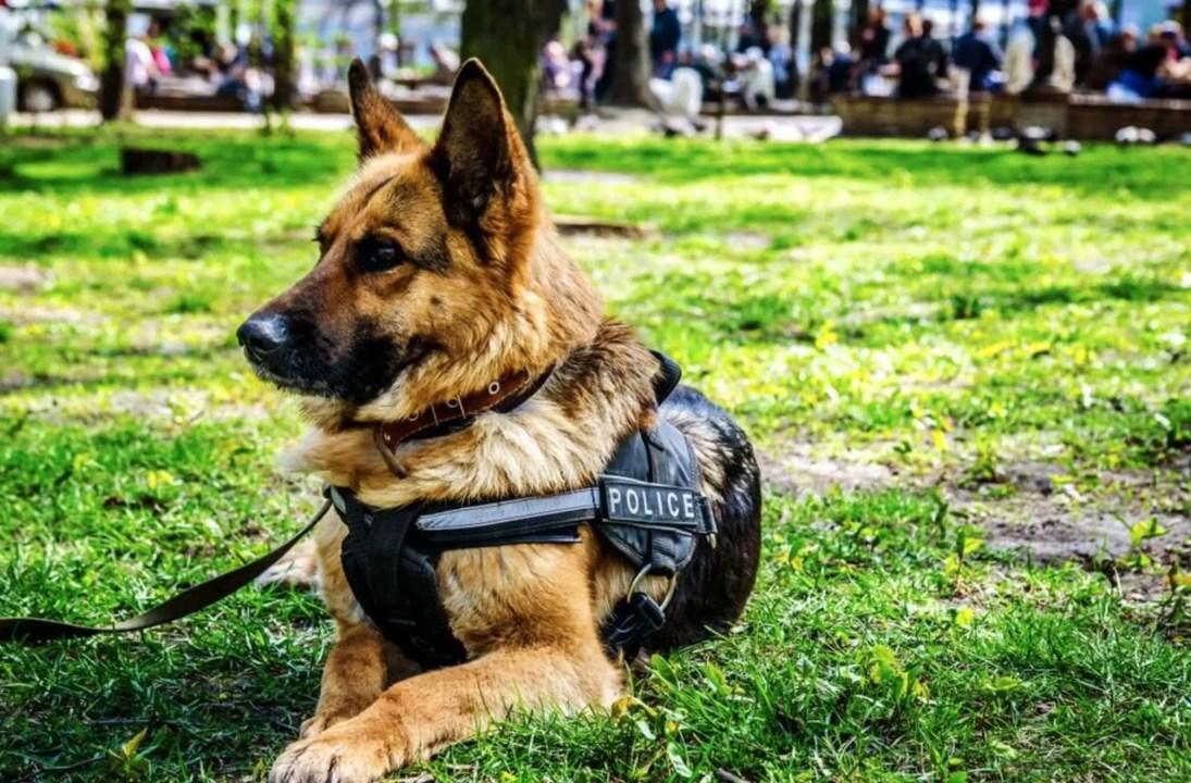 pastore tedesco cane poliziotto sdraiato su un prato
