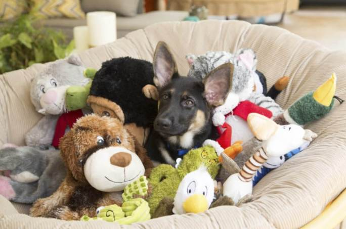 german shepherd puppy with dog toys first time dog ownership