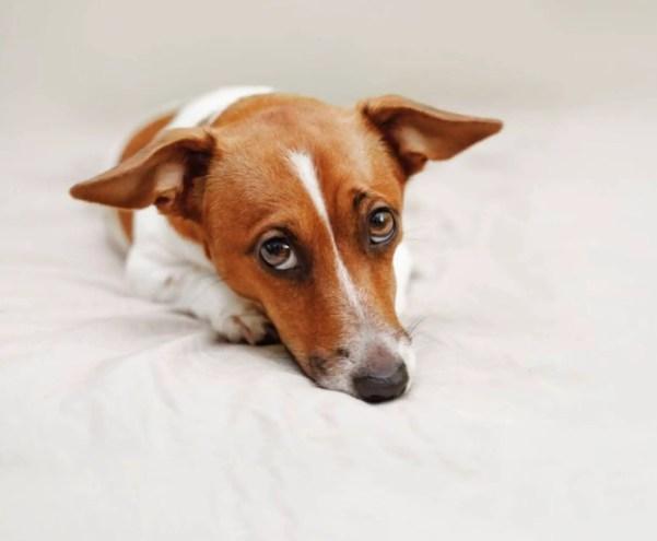 understand your dog jack russel sad