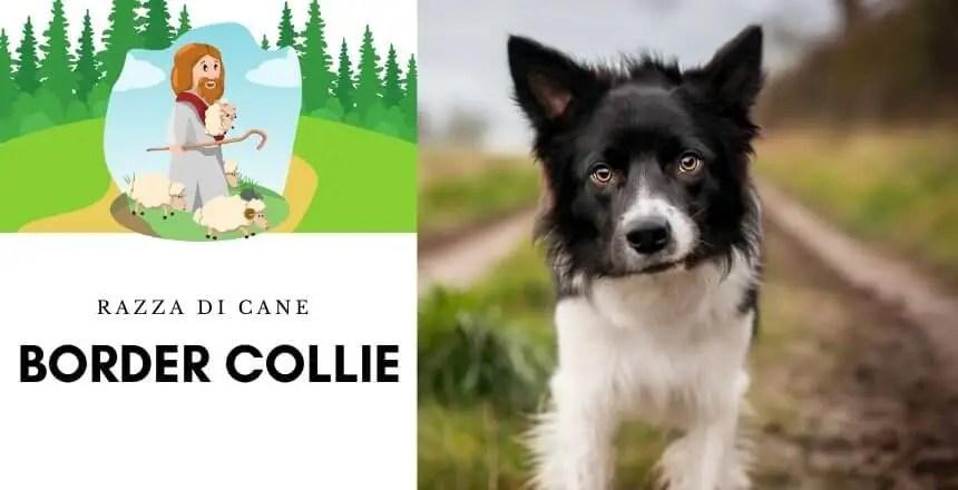 Border Collie | Descrizione Completa del Cane da Pastore № 1
