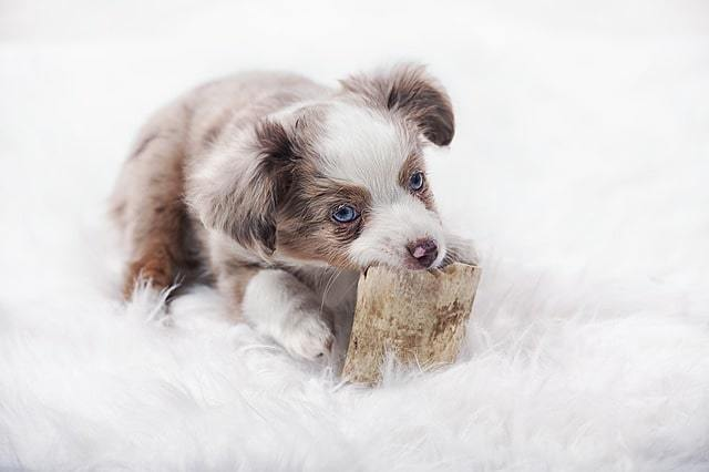Pastore australiano cucciolo - australian shepherd