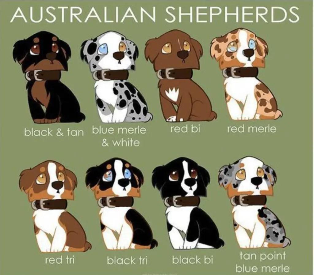 colori pastore australiano