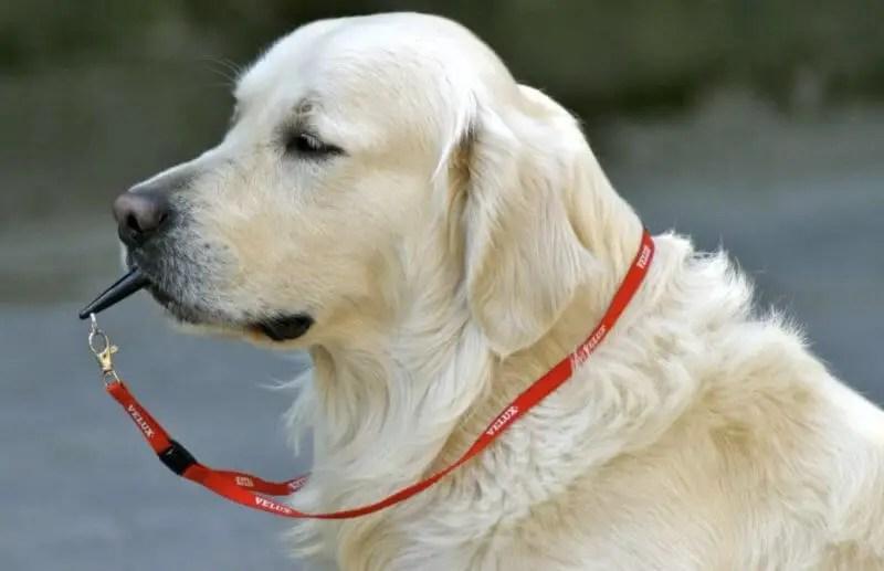 golden retriever che suona un Fischietto ad Ultrasuoni Per Cani