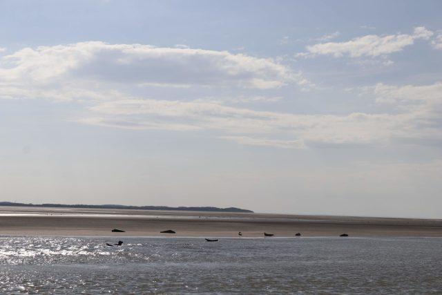 Phoques berk sur mer