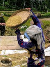Winnowing the rice from the husks