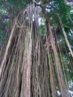 Banyan trees are central to village life