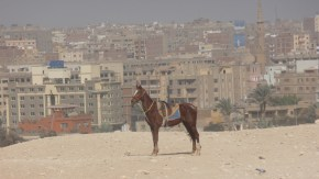 Horse with suburban Giza in the background