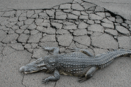 Alligator Cracking in Asphalt Pavement: Causes and Control