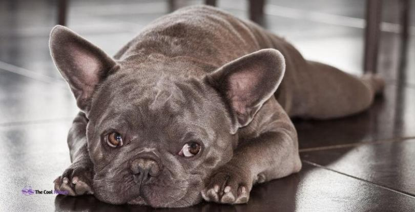 Unique French Female Bulldog Names