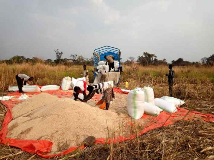 counting loses, Farmers under the West Acholi Coop Union harvest the epuripur sorghum that now has no market