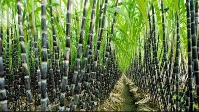 sugarcane out growers in Amuru