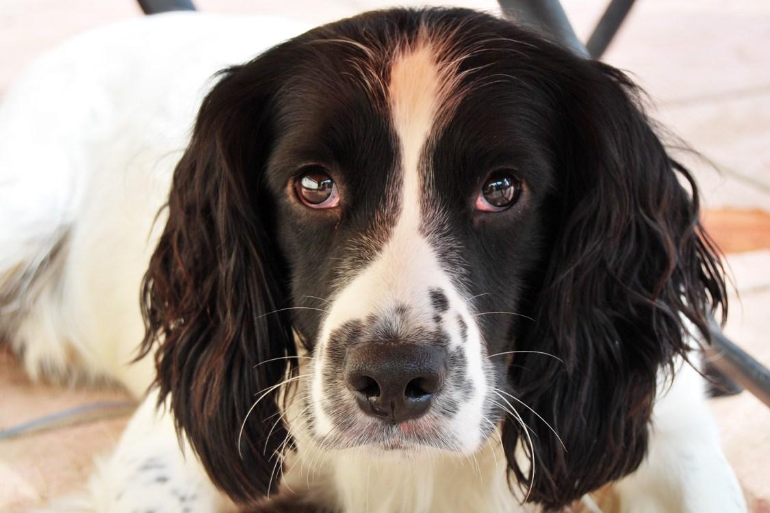 Getting a Dog   The Cornish Dog