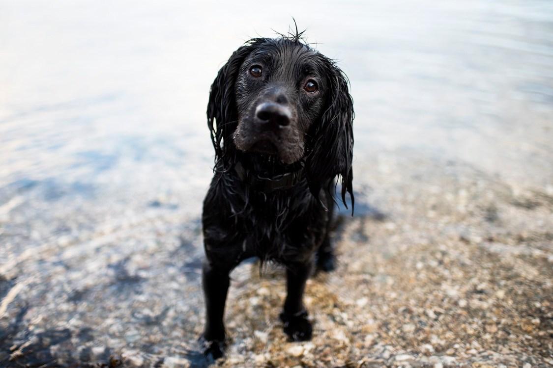 Woody Spaniel | The Cornish Dog