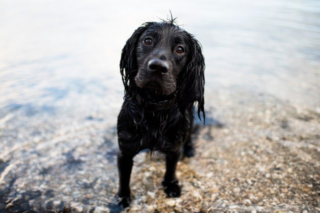 Woody Spaniel | The Cornish Dog