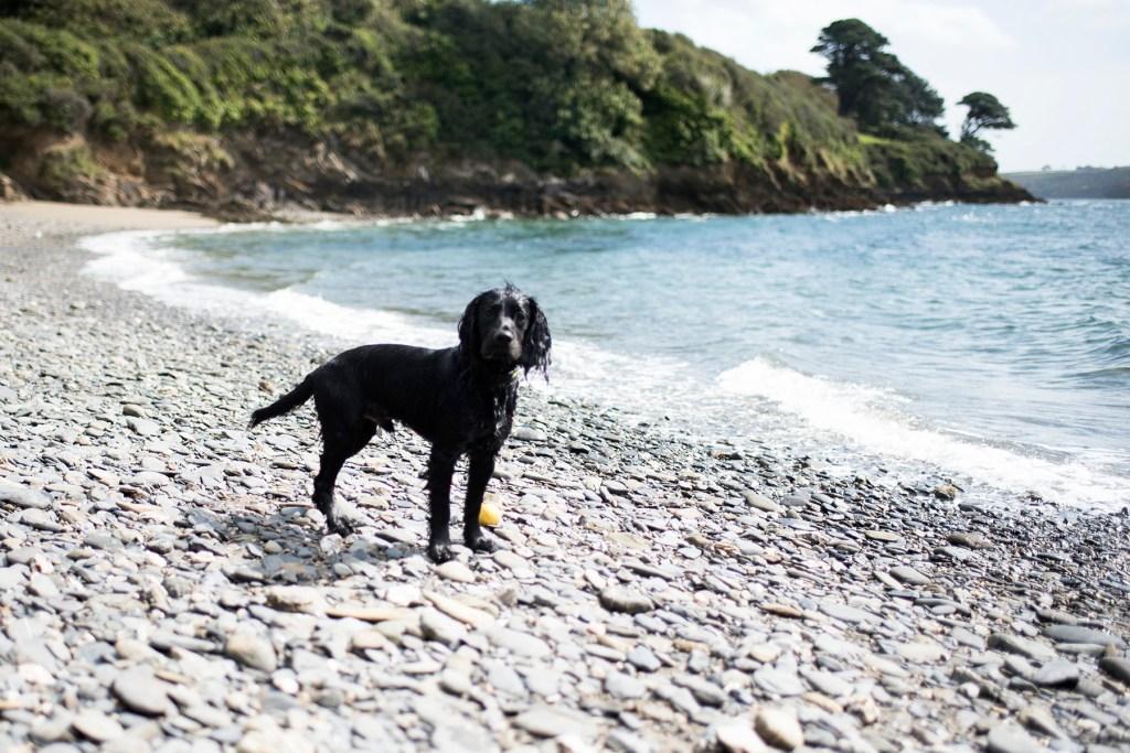 Working Cocker Spaniel | The Cornish Dog