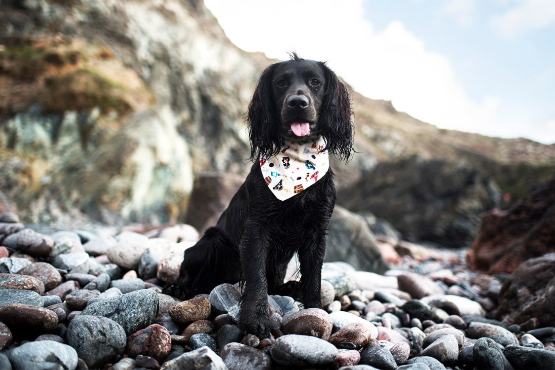 Cornish Dog Bandanas | The Cornish Dog