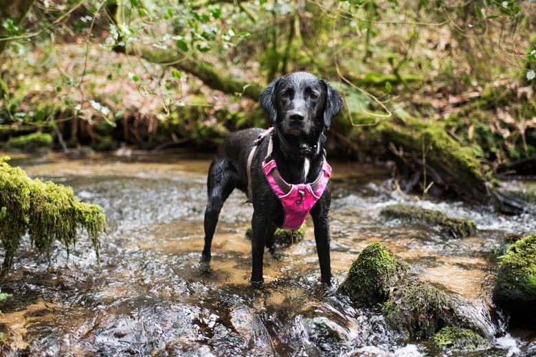 Meet Jasper: Our First Foster Dog | The Cornish Dog