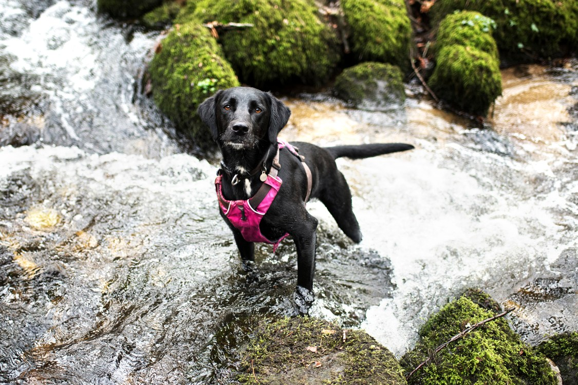 Meet Jasper: Our First Foster Dog   The Cornish Dog