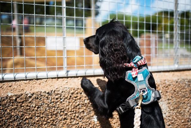 Woody Peering Through the Enclosure | The Cornish Dog