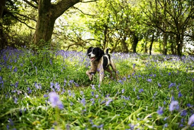 Spaniel Running Through Bluebells | The Cornish Dog