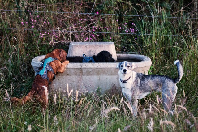 Hen, Snoop and Shadow Drinking from the Trough   The Cornish Dog