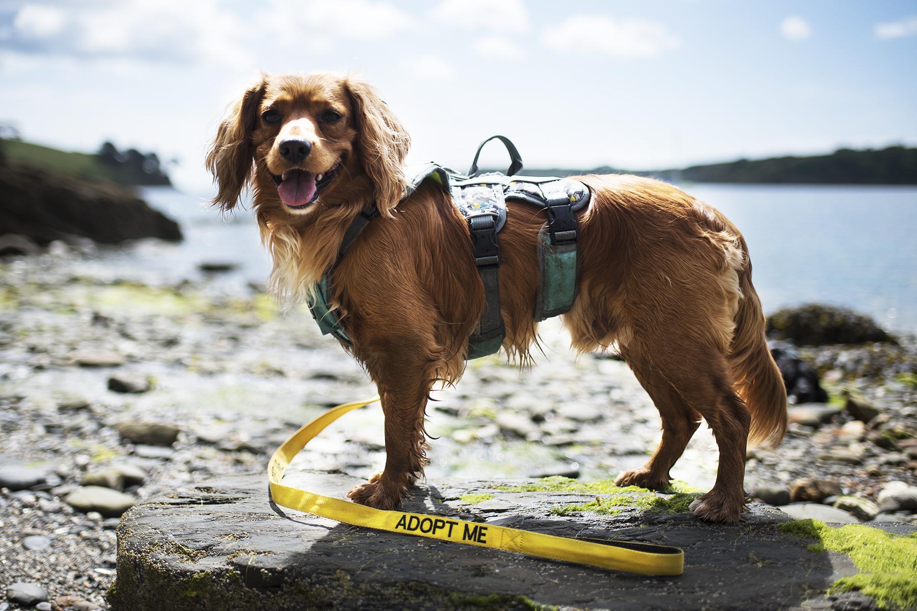 Adopt Me Lead | The Cornish Dog