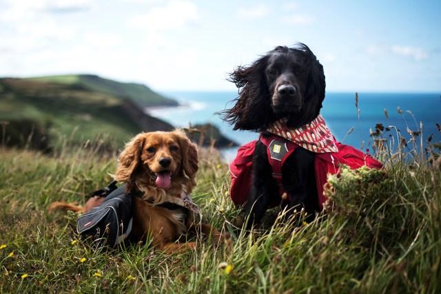Henry | The Cornish Dog