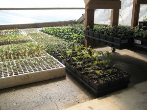 Seedling trays ready to plant