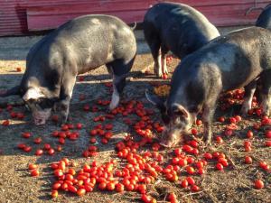 Pigs enjoying tomatos