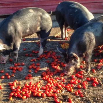 Tomatoes, yum!