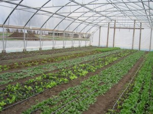 Lettuce in the old hoop house