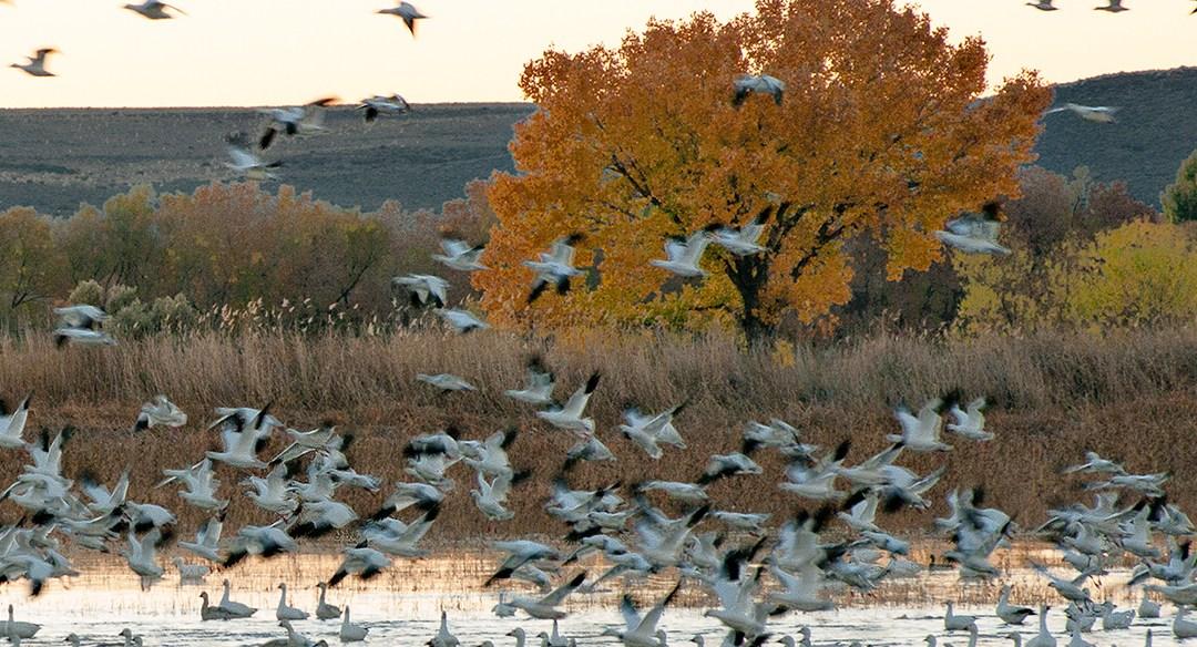 Festival of the Cranes 2018 – Bosque del Apache NWR