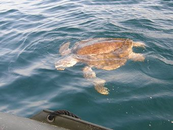 Sea turtle swimming by the boat.