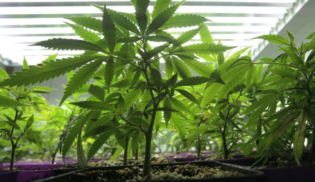 weed costa rica