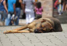 costa rica street dogs