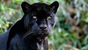 cosat rica jaguar