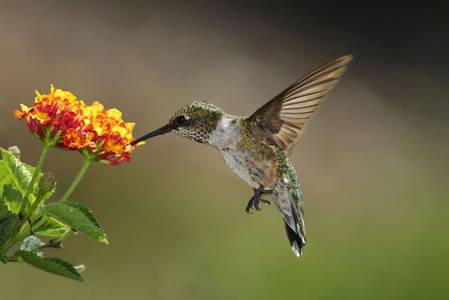 Hummingbirds are so gracious when feeding from flowers nectar.