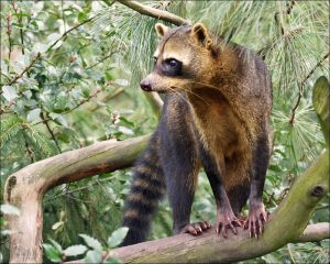 Small mammals like raccoons are present almost everywhere in Costa Rica.