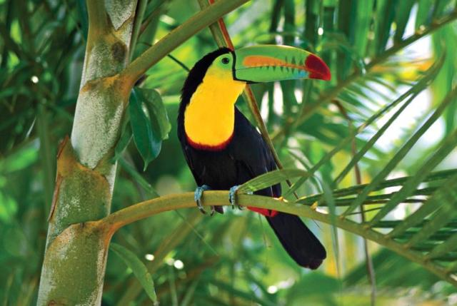 Toucans are colorful birds with large beaks.