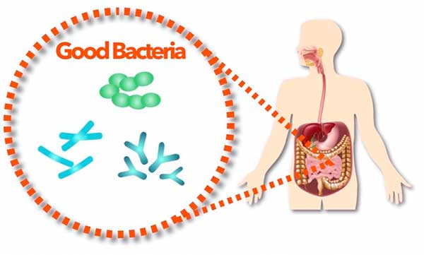 The presence of good bacteria is necessary for an efficient process of digestion.