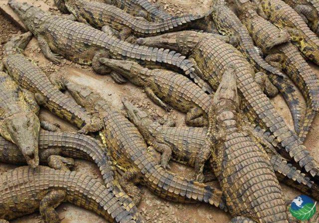 Crocodiles of Tárcoles River