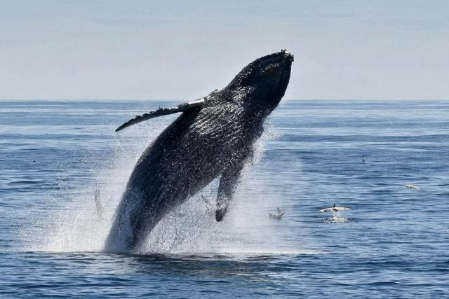 Humpback Whale is seen in Marino Ballena National Park