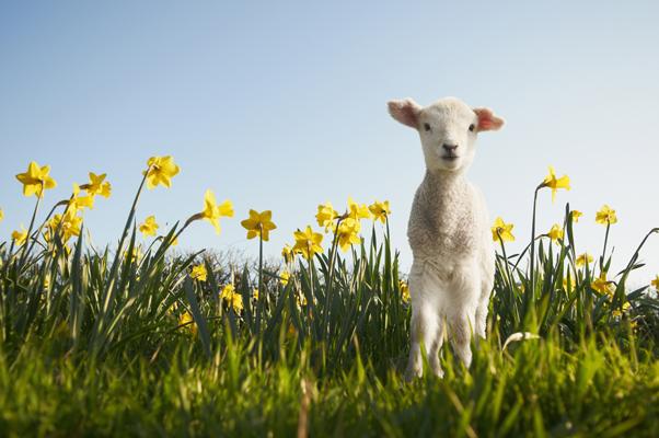 spring_lamb_g_wp